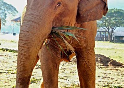 Save the Elephants - elephant eating grass