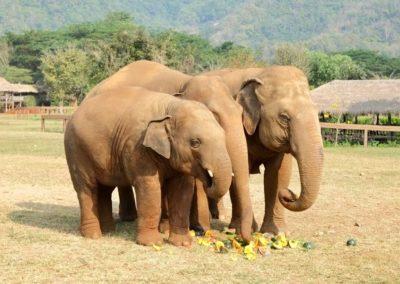 Save the Elephants - elephants eating fruit